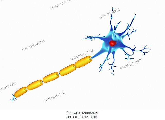 Illustration of a nerve cell (neuron) with a myelin sheath (yellow) around its axon