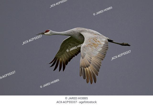 Sanhill Crane, Grus canadensis, Bosque Del Apache, New Mexico, USA