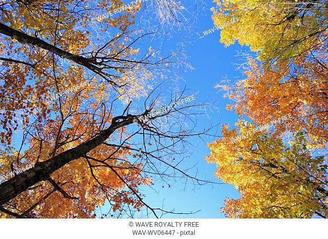 View of sugar maple trees in fall, Bas-Saint-Laurent region, Quebec