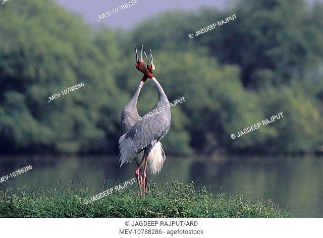 Indian Sarus Crane giving unison call. (Grus antigone)