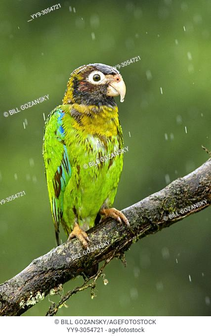 Brown-hooded Parrot (Pyrilia haematotis) in the rain - La Laguna del Lagarto Lodge, Boca Tapada, Costa Rica