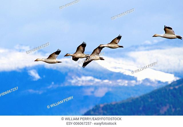 Snow Geese Flying Snow Mountains Skagit Valley Washington