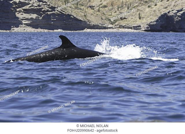 False-killer whale Pseudorca crassidens power-lunging off Isla San Esteban in the midriff region of the Gulf of California Sea of Cortez, Mexico
