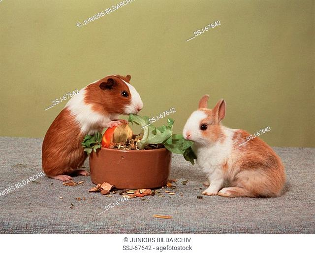 pygmy rabbit with guinea pig