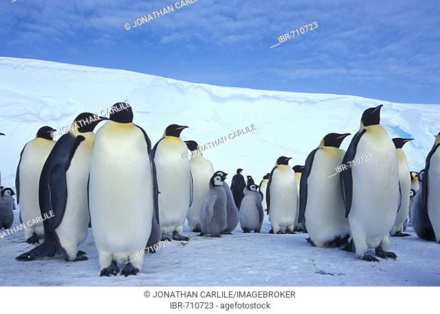 Emperor Penguins (Aptenodytes forsteri), colony