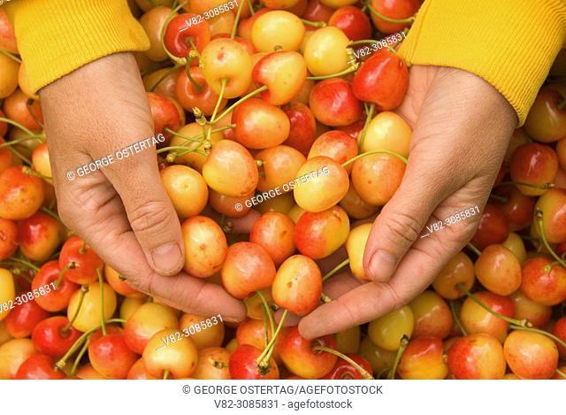 U-pick Royal Anne cherries, Johnson Farms, Marion County, Oregon