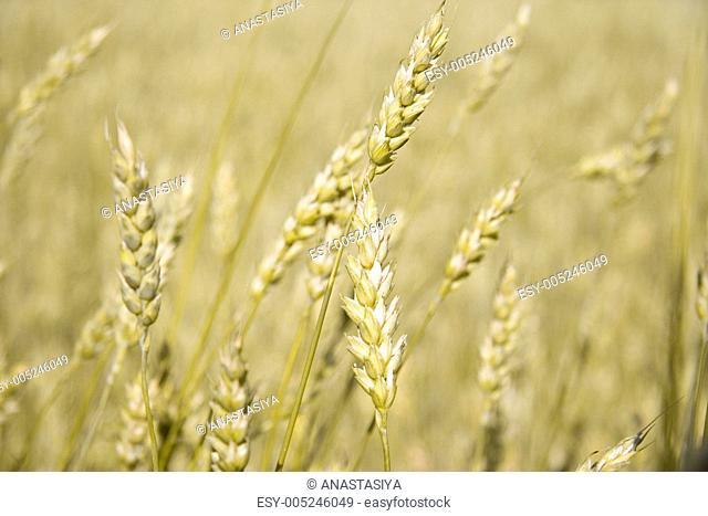 Golden ears of wheat