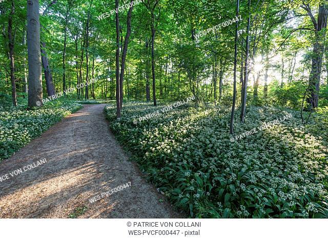 Germany, Quedlinburg, blossoming ransom at Bruehl park
