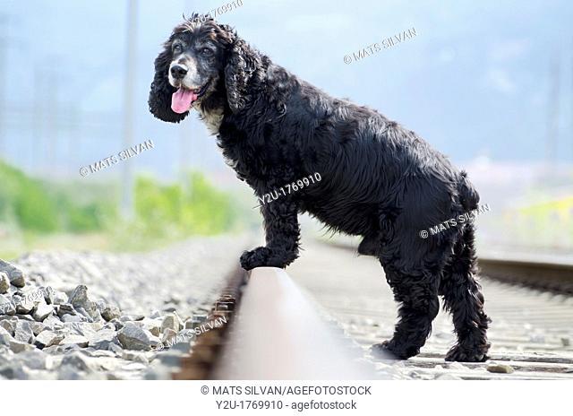Black cocker spaniel standing on the railroad tracks
