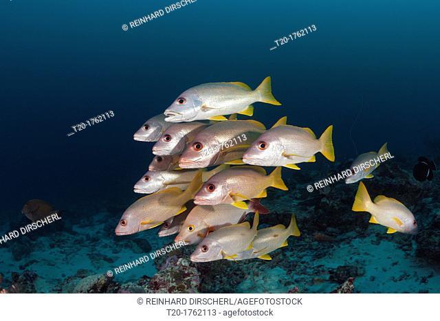 Shoal of One-spot Snapper, Lutjanus monostigma, Baa Atoll, Indian Ocean, Maldives