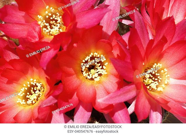 Chamaelobivia flowers
