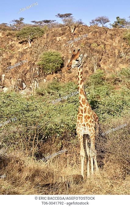 Rothschild giraffe (Giraffa camelopardalis rothschildi), Ruko Conservancy island, Lake Baringo, Kenya, Africa
