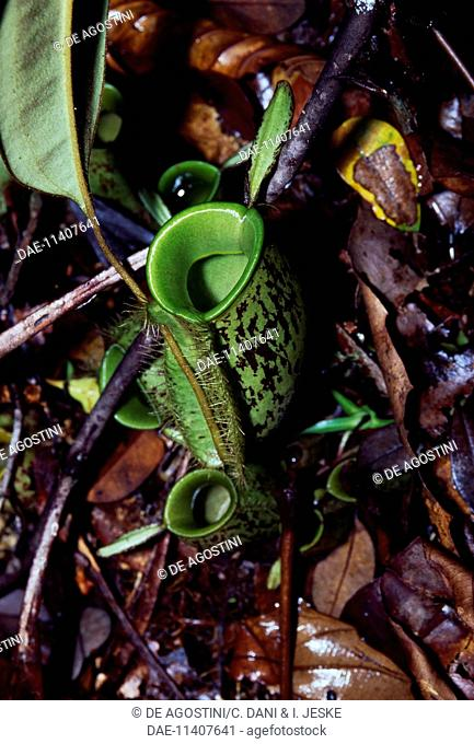 Villose Pitcher-Plant (Nephentes villosa), Nepenthaceae
