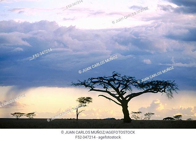 Acacia and storm. Serengeti. Tanzania