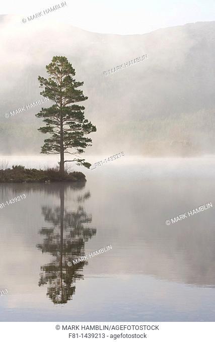 Scots pine Pinus sylvestris in mist, Loch an Eilein, Rothiemurchus, Cairngorms National Park, Scotland, April 2007