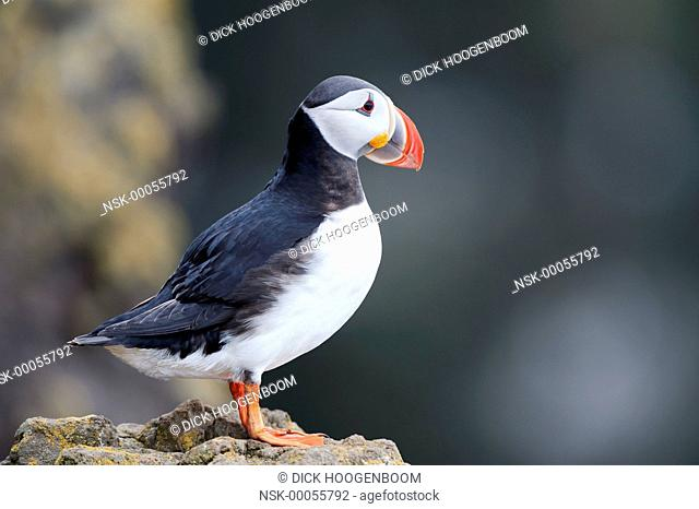 Puffin(Fratercula arctica) on the rock at Latrabjarg, there breeding ground in Iceland., Iceland, Western fjords, Latrabjarg