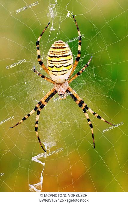 black-and-yellow argiope, black-and-yellow garden spider (Argiope bruennichi), sitting in its spider net, lurking for prey