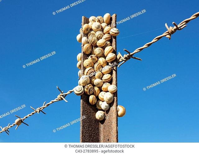Snails at a fence post in Andalusia, Spain