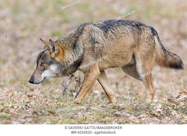 Italian Wolf (Canis lupus italicus), captive animal walking, Civitella Alfedena, Abruzzo, Italy