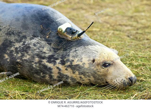 Grey Seal (Halichoerus grypus) with scientific tracking device
