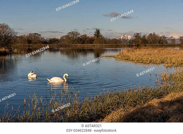 Swans swimming in a Scottish Loch