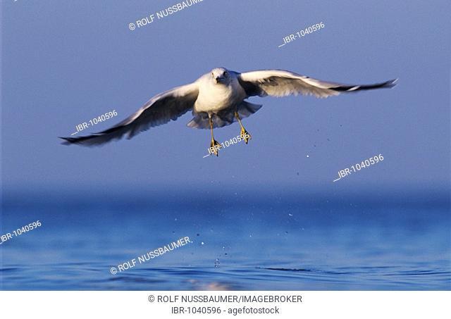 Ring-billed Gull (Larus delawarensis), adult in flight, Rockport, Texas, USA