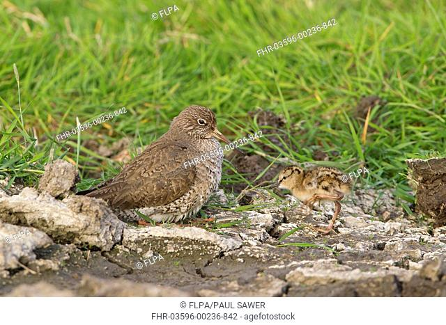 Common Redshank Tringa totanus adult, crouching down to incubate approaching chick, Suffolk, England, june