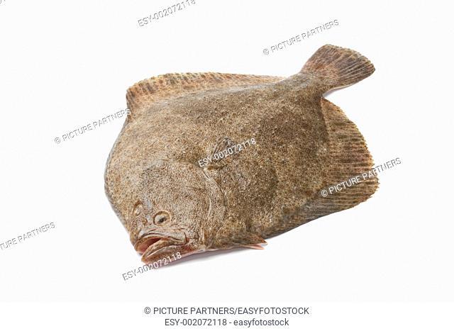 Whole single fresh Turbot fish on white background
