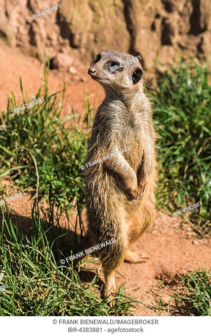 Meerkat (Suricata suricatta) is standing on the ground, watching out, captive, Leipzig, Saxony, Germany