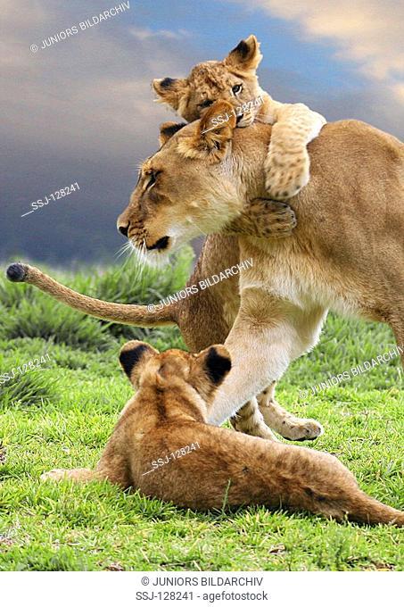 lion with cubs - Panthera leo