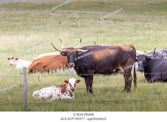Cattle at Val Marie Saskatchewan Canada
