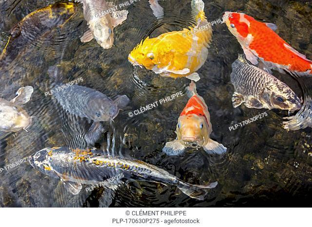 Colourful koi fish (Cyprinus rubrofuscus) surfacing in garden pond