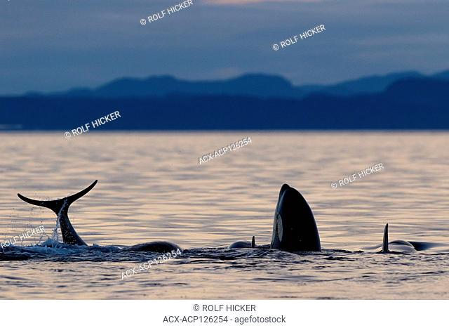 Northern resident killer whales (Orcinus orca) A24's and A36's playing, tail splashing and spy hopping during sunset in Queen Charlotte Strait off Vancouver...