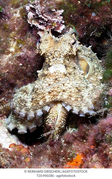 Common Octopus, Octopus vulgaris, Tamariu, Costa Brava, Mediterranean Sea, Spain