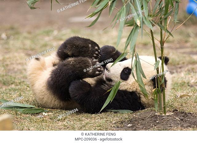 Giant Panda Ailuropoda melanoleuca six month old cub with bamboo placed upright in ground, Wolong Nature Reserve, China