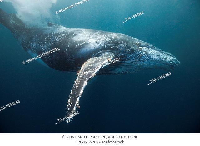 Humpback Whale, Megaptera novaeangliae, Indian Ocean, Wild Coast, South Africa