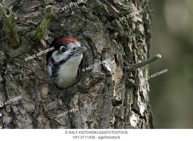 Greater / Great Spotted Woodpecker / Buntspecht ( Dendrocopos major ), juvenile, chick, looking out of nest hole, Europe