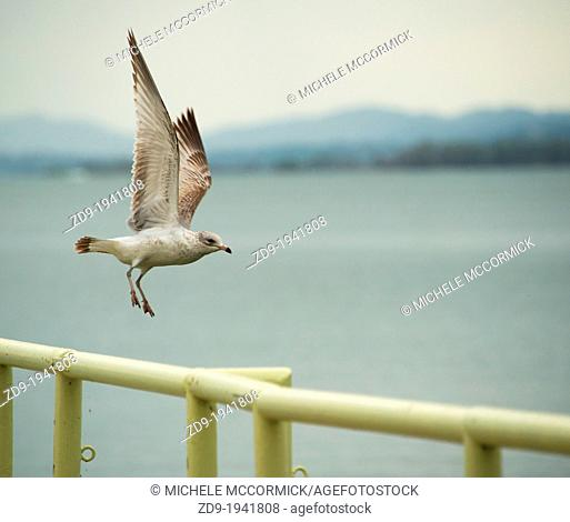 A seagull takes flight from a pier in California's Lakeport