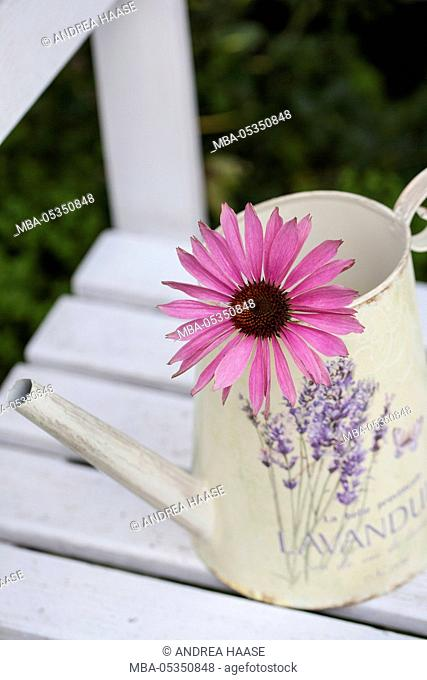 Coneflower blossom in decorative watering can