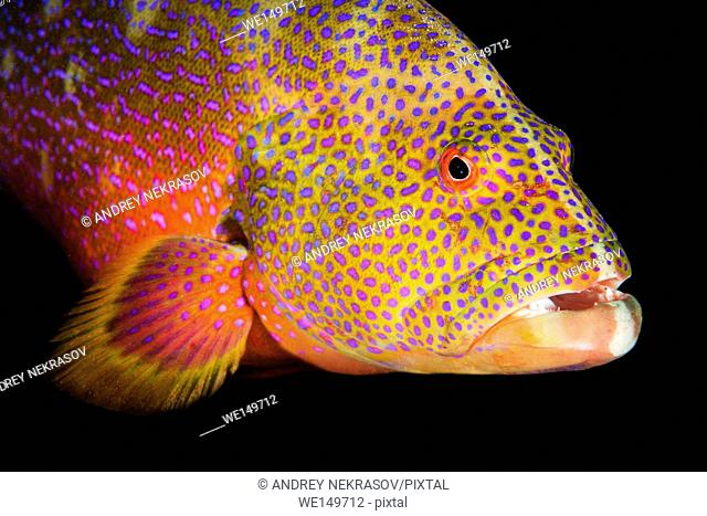 Portrait of Yellow-edged lyretail, Lyretail grouper or Caramel cod (Variola louti) night diving, Red Sea, Egypt