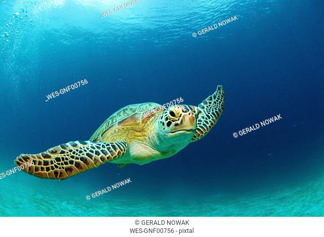 Philippines, green sea turtle (Chelonia mydas) swimming, close-up, underwater view