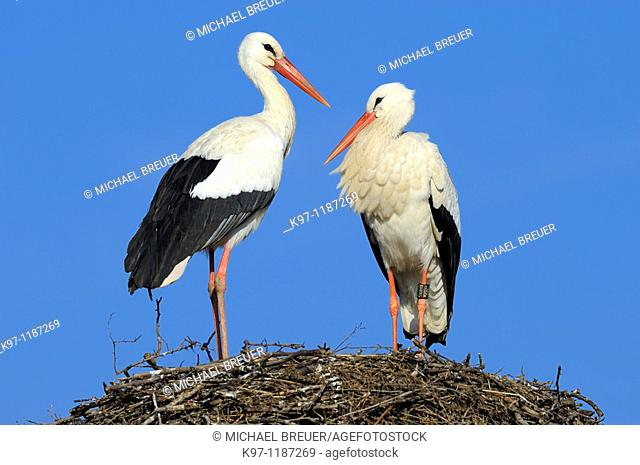 Couple of white storks (Ciconia ciconia) on nest, Europe, Germany