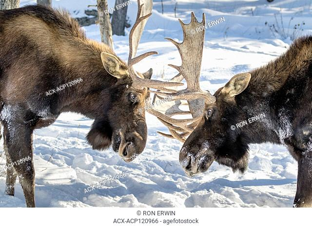 Two bull Moose (Alces alces) butting heads, Parc Omega, Quebec, Canada