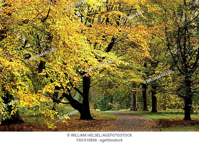 UK, England, London, Royal Botanical Gardens at Kew, path through hornbeam Carpinus betulus and beech Fagus sylvatica trees, November