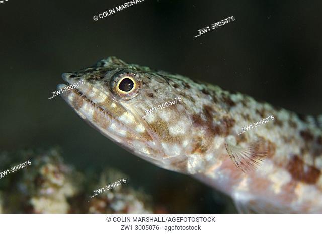 Reef Lizardfish (Synodus variegatus), on black sand, Batu Sandar dive site, Lembeh Straits, Sulawesi, Indonesia