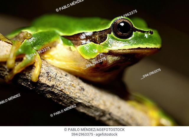 San Antonio tree frog (Hyla molleri) in Valdemanco, Madrid, Spain