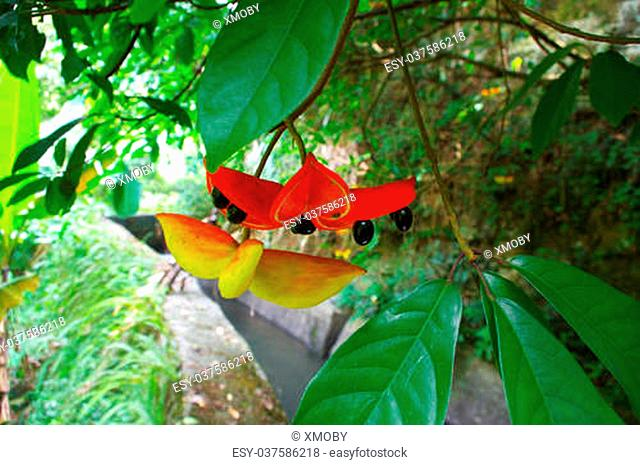strange fruit at chinese tropic forest