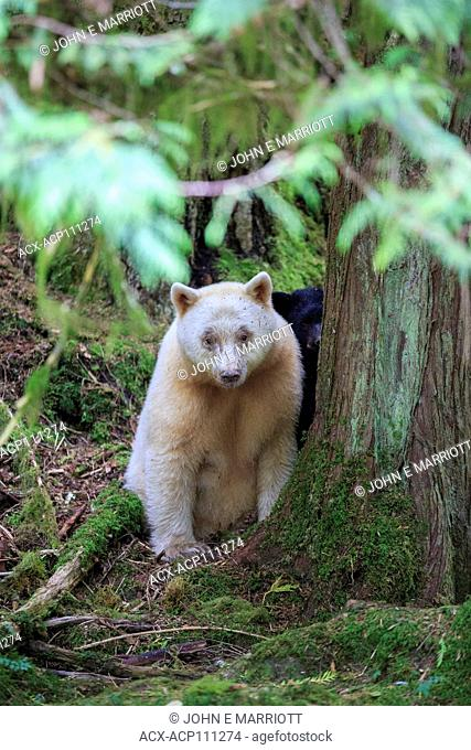 White kermode spirit bear with black cub, in the Great Bear Rainforest, BC, Canada