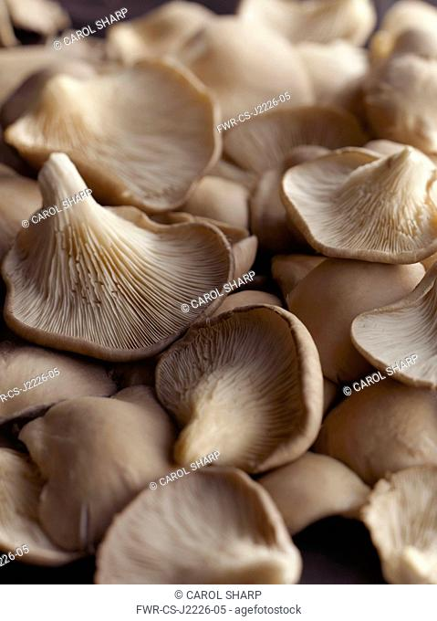 Oyster mushroom, Pleurotus ostreatus, Top view of several pale brown mushrooms some upturned showing the cream gills
