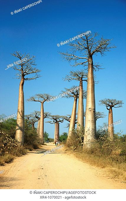 Avenue of the Baobabs (Adansonia digitata), Morondava, Toliara, Madagascar